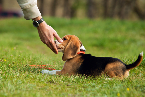 Puppy Training in Dallas: When Can my Puppy Start Obedience School?