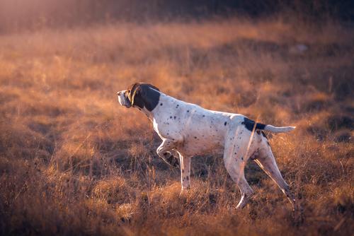 training hounds